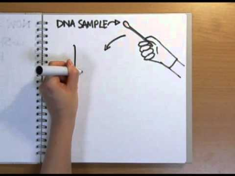 How does DNA fingerprinting work? - Naked Science Scrapbook
