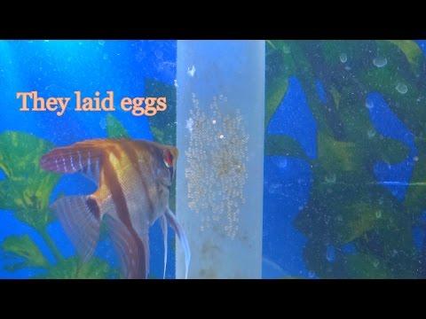 My Angelfish pair laid eggs!