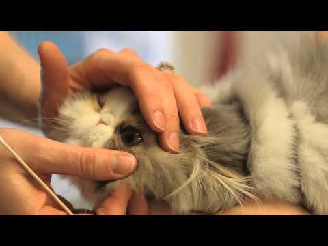 Viral Conjunctivitis in Cats : General Cat Health