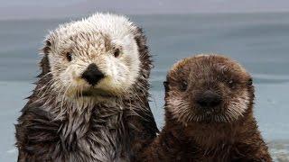 The Fantastic Fur of Sea Otters | Deep Look