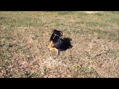 Tail Chasing Yorkie