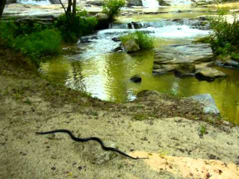Black snake caught in chicken coop #3 RELEASED at waterfall