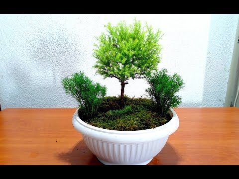 How to Start a Bonsai Tree / for beginners