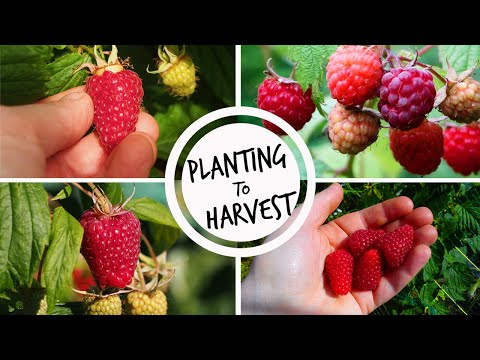 Growing Raspberries from Planting to Harvest
