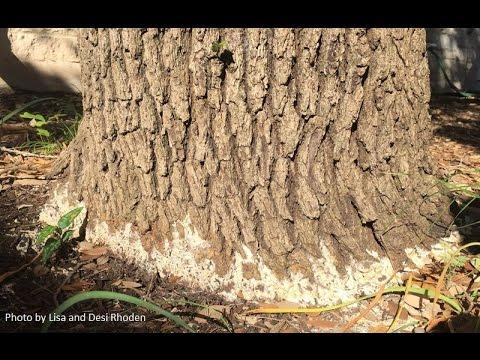 White Growth on Oak Tree |Daphne Richards |Central Texas Gardener
