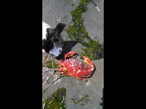 Huge red rock crab!