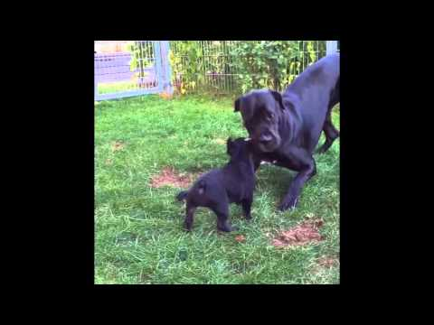 Great Dane/Boxer mix and french bulldog Puppy BFF