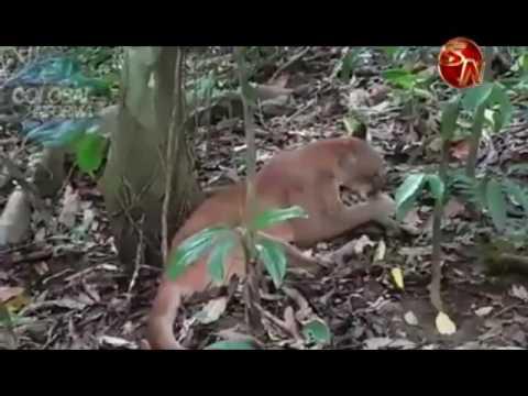 Pumas son vistos constantemente en el Parque Nacional Corcovado