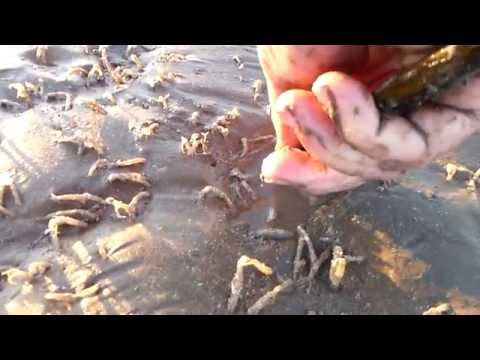 Gathering Razor Clams on Colwyn Bay Beach