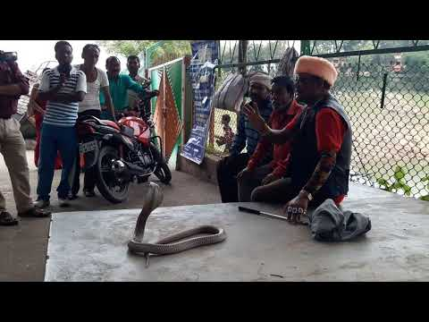Cobra venomous snake Rescue Form Maithon dam Snake rescue team Panchet dam(N G O)