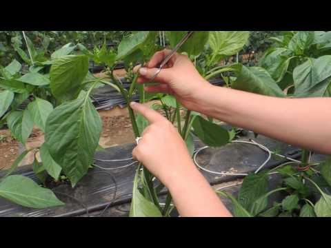 HOW TO PRUNE GREENHOUSE BELL PEPPERS FOR BEST PRODUCTION!