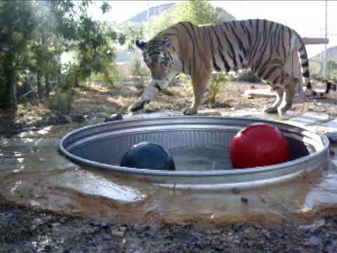 Tiger Tub