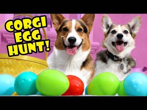 Surprise Easter Egg Hunt with CORGIS Pt. 2 || Life After College: Ep. 591