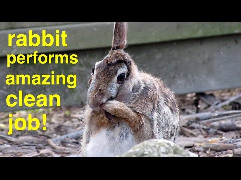 Rabbit Cleans Itself Better Than Most Humans ! !