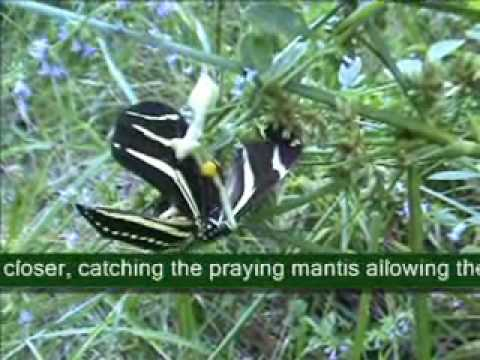 A Praying Mantis loses a Zebra Longwing butterfly.