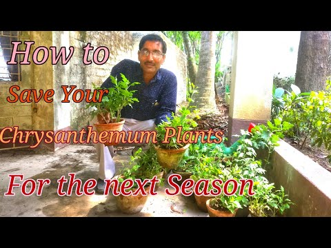 HOW TO SAVE YOUR CHRYSANTHEMUM FOR THE NEXT SEASON