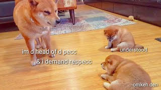 Download He teachin his pups a lesson / Shiba Inu puppies (with captions) Video