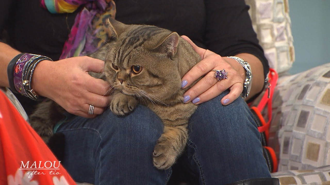 Kattspecialisten lär dig läsa katternas språk - Malou Efter tio (TV4)