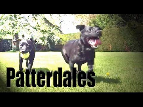 Patterdale Terriers slow motion