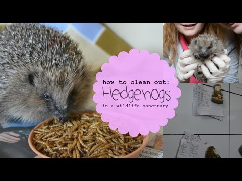 Caring For Hedgehogs: Cleaning Out Cages