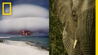 How Nuclear Bombs are Helping Fight Elephant Poachers | National Geographic