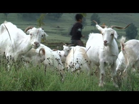 Cloned Pashmina goats help India's wool industry