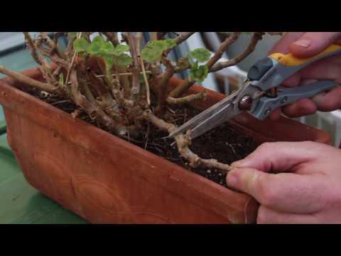 Deadheading Geraniums/Pelergoniums
