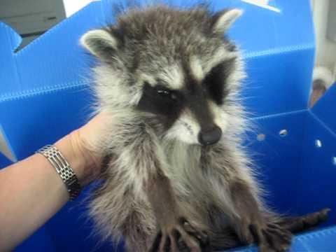 Sick baby raccoon, Animal Advocates, Mary Cummins