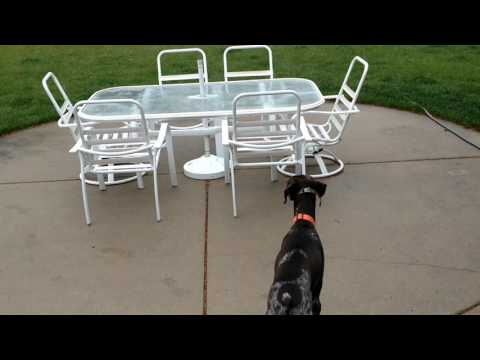 Benelli - Birds! - Our German Shorthaired Pointer as he sees birds in the yard!