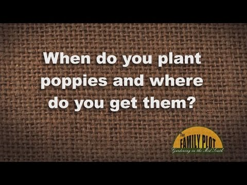 Q&A - When to plant poppies