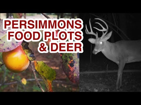 Wild Persimmons and Food Plots for Deer