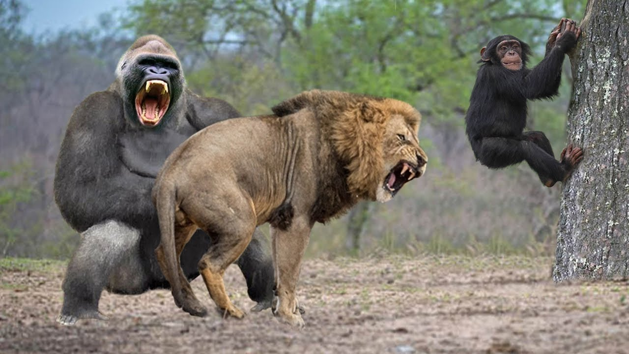 Gorilla Catch Lion Cub To Revenge After Being Unable To Save Cub From Lion Hunt And The Unexpected