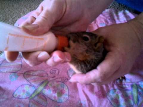 Baby squirrel drinking formula from a bottle