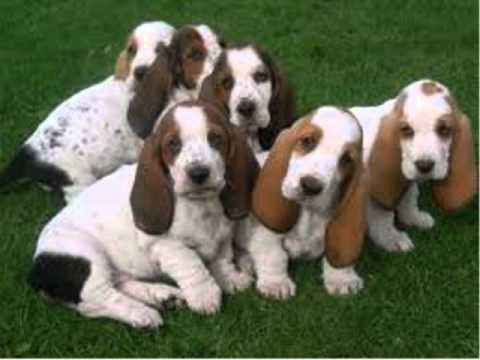 How To Potty Train Basset Hound Puppy | FREE MINI COURSE