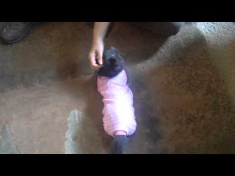 Kitten recovering from surgery in onesie