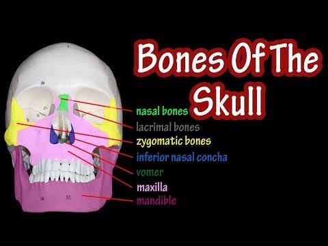 Bones Of The Skull - Anatomy Of The Skull - Skull Bones Labeled