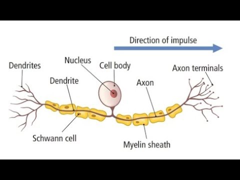 How to draw sensory neuron well labelled and very easy