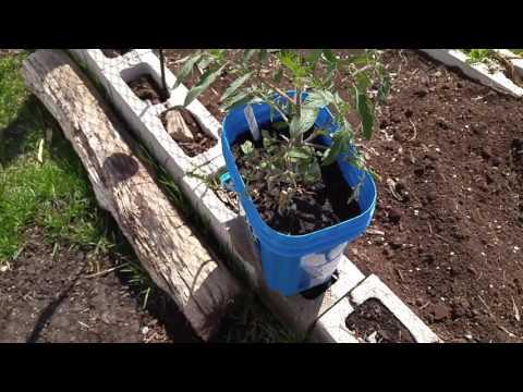 Garden Update  (Cool spell coming} Spring 2017 Ontario,Canada