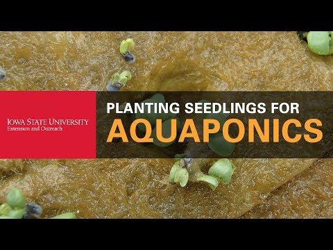 How to Plant Seedlings for Your Aquaponics System