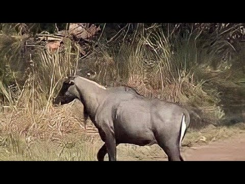 Xxx Mp4 Only In Indian Continental Animal Nilgai Or Blue Bull Closeup Video 3gp Sex
