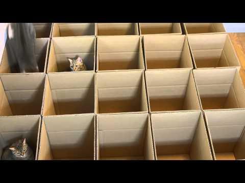 Cats in Cardboard Box Maze