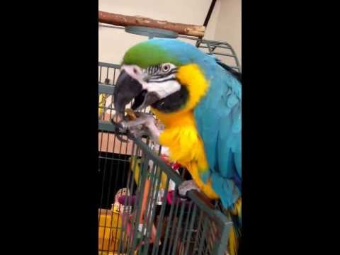 Amazon Parrot Bogey and I eating Sesame Sticks