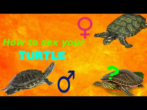 How To Tell if Your Turtle is Male or Female
