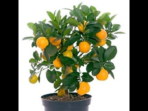 HOW TO PLANT ORANGE TREES IN CONTAINERS - BY HAPPY TWIRL