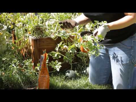 How to Grow Watermelon in the Backyard : Garden Space