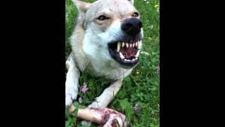 Hidalgo Growl [ Czechoslovakian Wolfdog ]