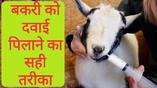 MashaAllah goat farm bakri do bachche jani - PakVim net HD