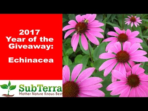 Echinacea (Purple Coneflower) A Medicinal Powerhouse Everyone Should Grow ** Giveaway **