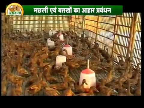 Get important advice on integrated fish cum duck farming