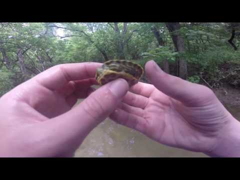 Baby Turtle in the Creek